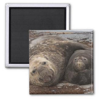 Southern Elephant Seals Mirounga leonina) Square Magnet