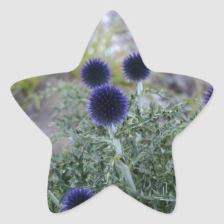 Southern globe thistle (Cardo pallotta) Star Sticker