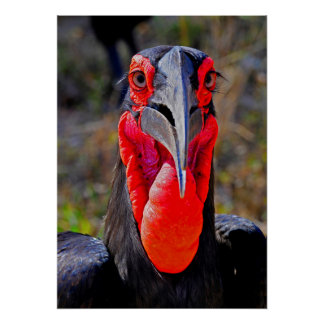 Southern Ground Hornbill Facing Camera Poster