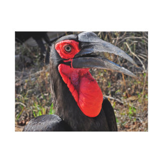 Southern Ground Hornbill Gallery Wrapped Canvas