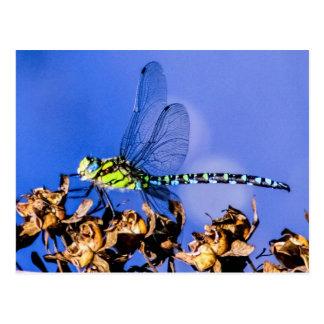Southern Hawker (Aeshna cyanea) Male Dragonfly Postcard
