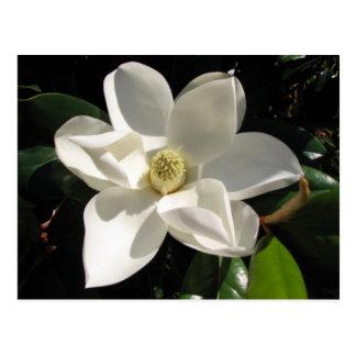Southern Magnolia Postcard
