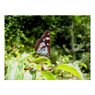 Southern White Admiral Butterfly Poster