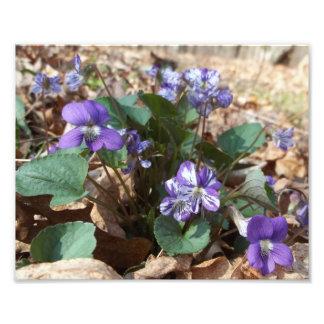 Southern Wood Violet Photo Print
