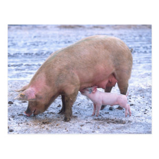 Sow and piglet postcard