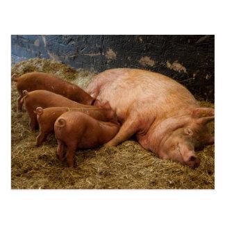 Sow Feeding Piglets Postcard