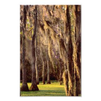 Spanish Moss on Cypress Trees Photo Print