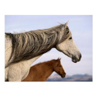 Spanish Mustangs Postcard