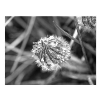 Sparkling Crocus in Black and White Photo Art