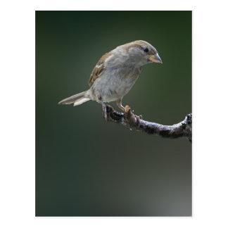 Sparrow  1 postcard