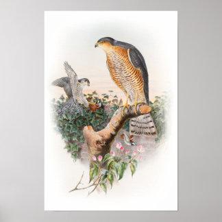 Sparrow Hawk John Gould Birds of Great Britain Poster