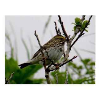 Sparrow on a Twig, Unalaska Island Postcard