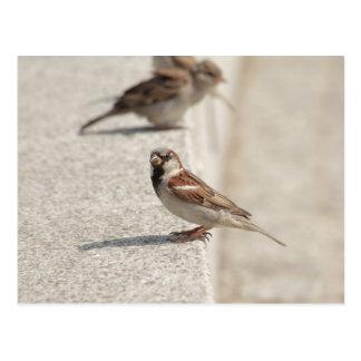 sparrows on the step postcard
