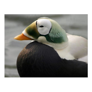 Spectacled Eider Postcard