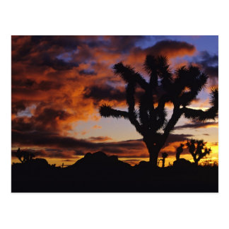 Spectacular Sunrise at Joshua Tree National Postcard