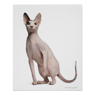 Sphynx (13 months old) posters
