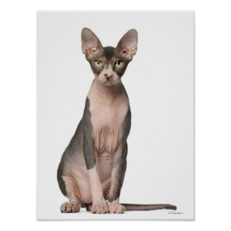Sphynx (7 months old) sitting poster