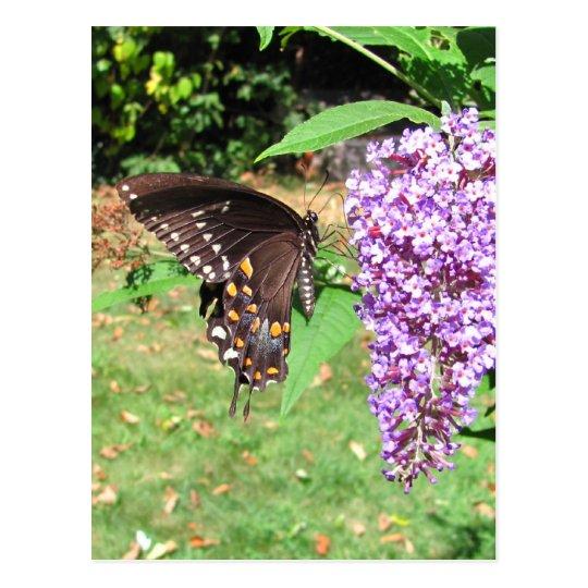 Spicebush butterfly ~ postcard