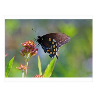 Spicebush Swallowtail II Postcard