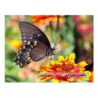 Spicebush Swallowtail Postcard