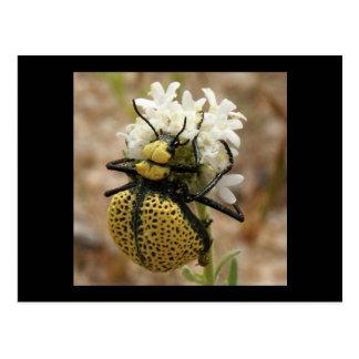 Spider Beetle Wonder Valley Postcard