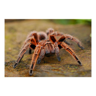 Spider Tarantula Insect Artwork Photo Poster