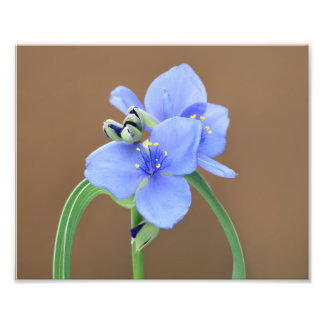 Spiderwort Flower Art Photo