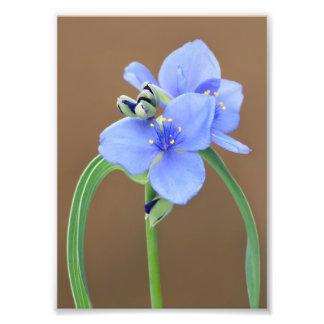 Spiderwort Flower Photograph