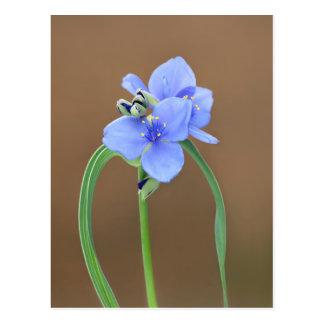 Spiderwort Flower Postcard