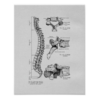Spine and Vertebrae Vintage Print