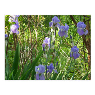 Sping Iris in East Tennessee Postcard