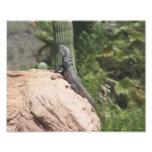 Spiny-tailed Iguana Photograph