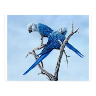 Spix Macaw gifts for the Spix lover Postcard