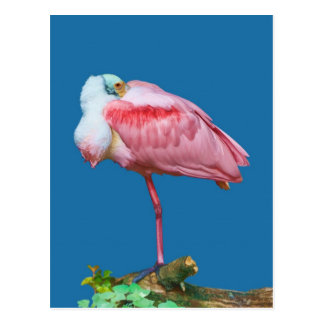 Spoonbill on One Leg Postcard