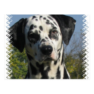 Spotted Dalmatian Postcard