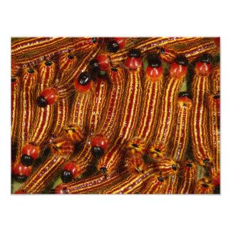 Spotted Datana Moth Caterpillars Photo