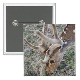 Spotted deer or chital in Indian tiger reserve 2 Inch Square Button