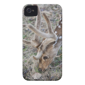 Spotted deer or chital in Indian tiger reserve iPhone 4 Covers
