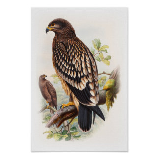 Spotted Eagle John Gould Birds of Great Britain Poster