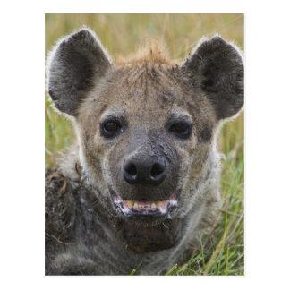 Spotted Hyena portrait, Crocuta croduta, Masai Postcard