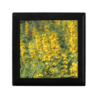 Spotted loosestrife (Lysimachia punctate). Gift Boxes