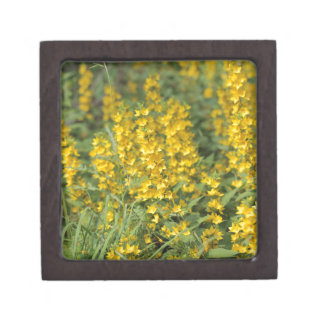 Spotted loosestrife (Lysimachia punctate). Premium Gift Box