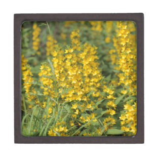 Spotted loosestrife (Lysimachia punctate). Premium Jewelry Box