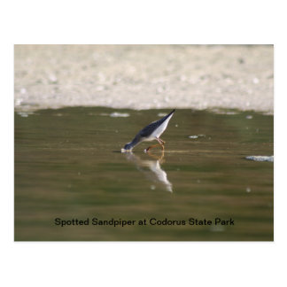 Spotted Sandpiper at Codorus State Park Postcard