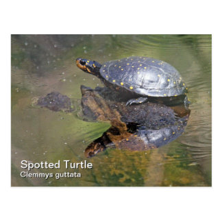 Spotted Turtle Postcard