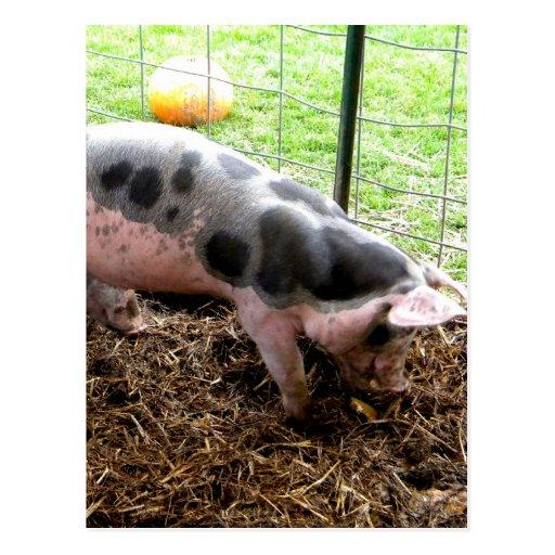 Spotty Piggy Post Cards