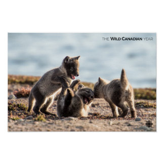 Spring - Arctic Fox Poster