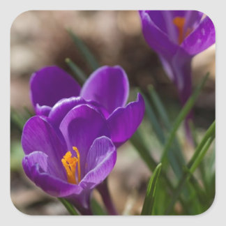 Spring Blooming Purple Crocus Flowers Square Sticker