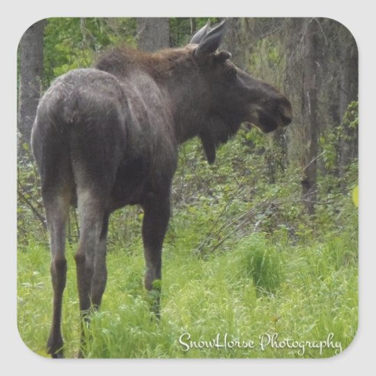 Spring Bull Moose Square Sticker