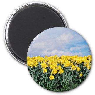 Spring daffodils, Shrewsbury, Shropshire, England 2 Inch Round Magnet